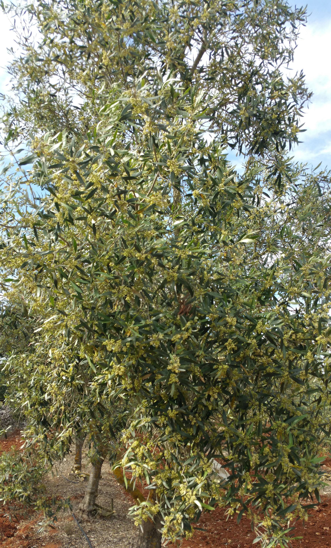 un albero di ulivo in fiore!