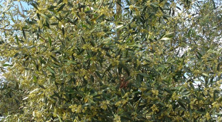 fiori di un albero di ulivo!